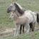 Стада от диви коне – тарпани, вече се срещат в Родопите
