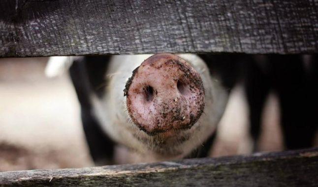 Плащат еднократна помощ заради чумата по свинете от 1 септември